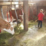 Mithilfe im Stall: Kühe füttern